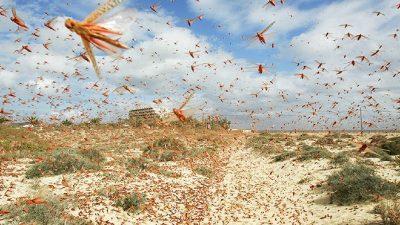 ३५ हजार जनालाई पुग्ने खाना एक दिनमै नष्ट गर्न सक्ने सलह किराको बारे थाहा पाउनुहोस (भिडियो)