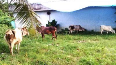 हुम्लामा अज्ञात रोगले ५० पशुवस्तु मरे