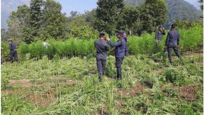 चितवन प्रहरीद्वारा ५० बिघामा लगाइएको गाँजा खेती नष्ट